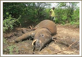 Sadly the elephant succumbed to its injuries after treatment