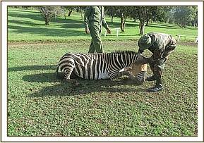 This zebra is seen limping