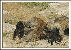 A hyena family in Amboseli