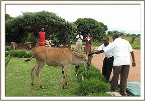 The Eland was used to people