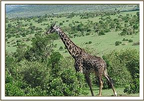 The speared giraffe