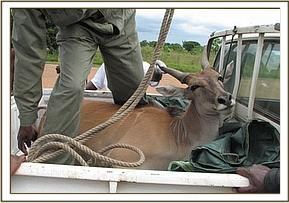 The Eland being translocated