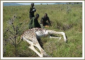 The giraffe goes down after being darted
