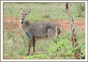 The waterbuck after the snare is removed