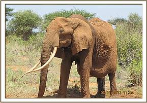 The elephant with a swollen abdomen