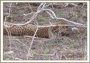 The leopard released back into the wild