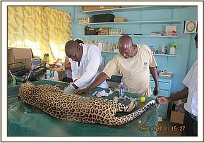 The leopard undergoing examination at the vet clinic