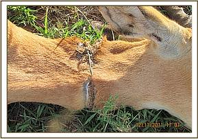 The snare cutting into the Impala's neck