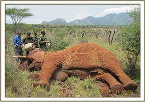 The immobilized elephant