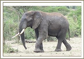 Elephant bull had a discharging wound on his left flank