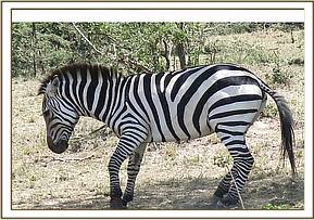 Zebra with a snare around the left foreleg