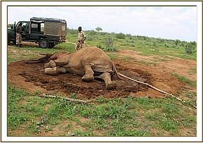 Attempts were made to help the elephant cow stand