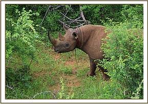 Rhino with a snare tight around its neck