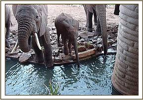 The wounded calf drinks at Salt Lick Lodge with his mother