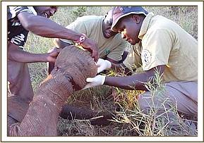 Dr Ndeereh operates on the calf, removing the snare