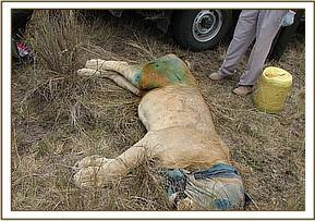 The lions wound after treatment