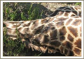 The snare loose around the giraffes neck