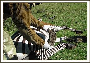 The zebra had an overgrown hoof on iths left hind limb