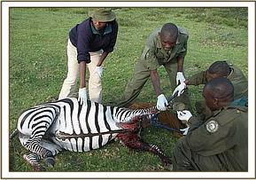 The zebra had extensive wounds caused by a snare