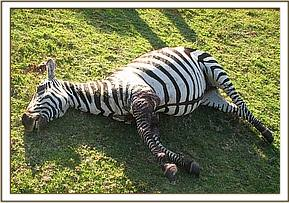 The zebra is euthanased