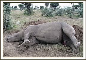 The dead male rhino