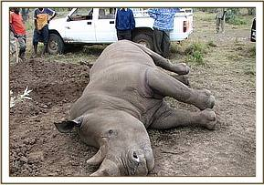 The dead rhino at Kigio Wildlife Conservancy