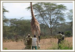 The darted giraffe