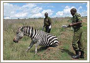 The zebra goes down after it is darted