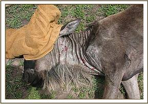 The wildebeest calf after treatment and samples are taken