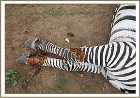 The zebra's injuries after they are cleaned and treated