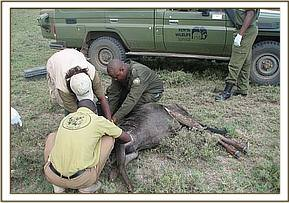 Taking samples from the infected wildebeest