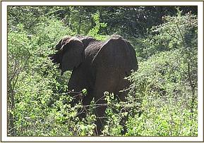 The elephant has lost body condition, prognisis for recovery is poor, the elephant is euthansed