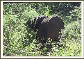 The elephant is found browsing and its condition is reassessed