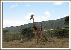The giraffe runs off after treatment