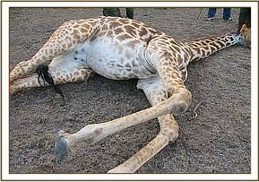The immobilized giraffe with an arrow sticking out of its leg