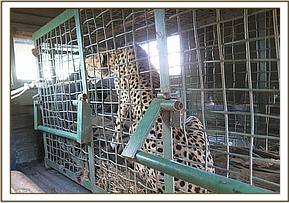 The cheetah is transported to Nairobi