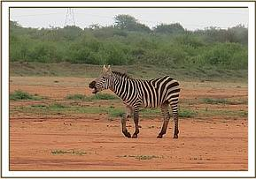 Report of a lame zebra was made to the Amboseli Mobile Vet Unit