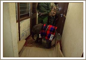 The baby was carried to Amboseli Park Headquarters where the vet hosted it overnight