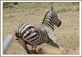 The zebra was darted for treatment