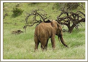 Prognosis for recovery of fracture of bones in elephants is guarded