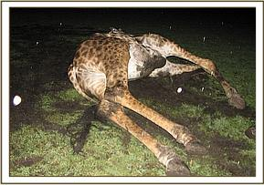 The giraffe is euthanized