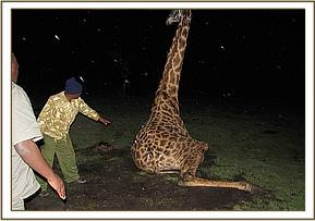 The injured giraffe unable to get to its feet