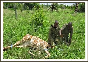 Euthanising the Giraffe