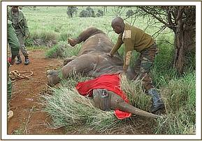 Immobilizing the rhino