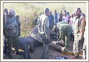 The vet team examines the elephants injuries