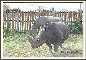 The rhino with her male companion following treatment