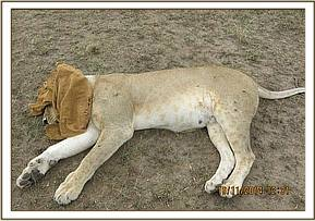 The lioness is darted for treatment and her eyes covered