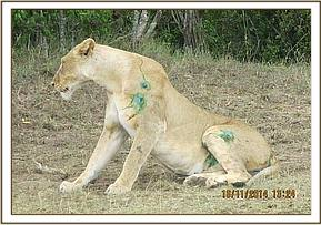 The lioness wakes up after treatment