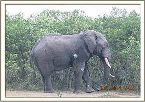 The elephant moves off into the bush