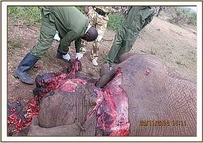 It was determined this elephant died from a poisoned arrow